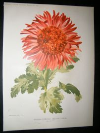 Amateur Gardening 1895 Botanical. Anemone-Flowered Chysanthemum